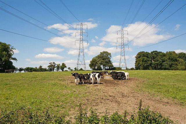 Cattle by Pylons