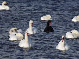 One black swan and many white swans in lake